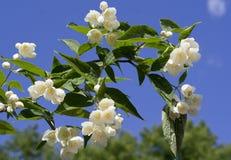 όμορφο φρέσκο jasmine λουλου& στοκ φωτογραφία με δικαίωμα ελεύθερης χρήσης