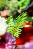 Όμορφο φτερών φύλλων πράσινο υπόβαθρο φτερών φυλλώματος φυσικό floral Στοκ Εικόνες