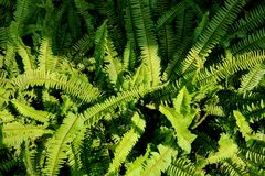 Όμορφο φτερών φύλλων πράσινο υπόβαθρο φτερών φυλλώματος φυσικό floral Στοκ Φωτογραφίες