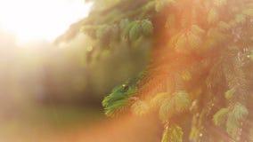 Όμορφο φυσικό υπόβαθρο άνοιξη Το χνουδωτό έλατο διακλαδίζεται μακροεντολή στον ήλιο : στοκ εικόνες με δικαίωμα ελεύθερης χρήσης