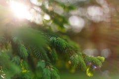 Όμορφο φυσικό υπόβαθρο άνοιξη Το χνουδωτό έλατο διακλαδίζεται μακροεντολή στον ήλιο : E στοκ φωτογραφία με δικαίωμα ελεύθερης χρήσης