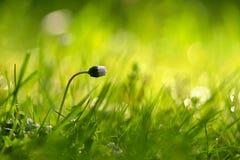 Όμορφο φυσικό υπόβαθρο του πράσινου λουλουδιού χλόης και μαργαριτών με τον ήλιο Άνοιξη Εποχιακή έννοια για την άνοιξη και το πρωί Στοκ φωτογραφία με δικαίωμα ελεύθερης χρήσης
