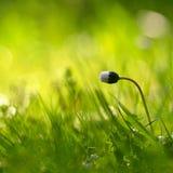 Όμορφο φυσικό υπόβαθρο του πράσινου λουλουδιού χλόης και μαργαριτών με τον ήλιο Άνοιξη Εποχιακή έννοια για την άνοιξη και το πρωί Στοκ Εικόνες