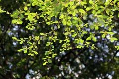 Όμορφο φυσικό φυτό φύλλων κλάδων δέντρων, υπόβαθρο περιβάλλοντος δέντρων bokeh φωτεινό, ο φρέσκος πράσινος Μπους φύσης δέντρων φύ στοκ εικόνες