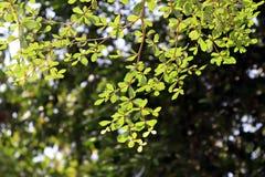 Όμορφο φυσικό φυτό φύλλων κλάδων δέντρων, υπόβαθρο περιβάλλοντος δέντρων bokeh φωτεινό, ο φρέσκος πράσινος Μπους φύσης δέντρων φύ στοκ φωτογραφία με δικαίωμα ελεύθερης χρήσης