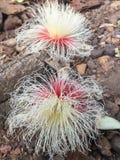 Όμορφο φυσικό ύφος Ταϊλάνδη λουλουδιών frangipani Στοκ φωτογραφίες με δικαίωμα ελεύθερης χρήσης