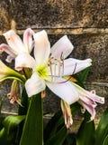 Όμορφο φυσικό ύφος Ταϊλάνδη λουλουδιών frangipani Στοκ Εικόνα