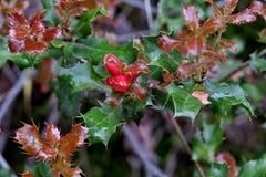 Όμορφο φυτό με τα πράσινος-καφέ φύλλα και τα μικρά κόκκινα μούρα στοκ εικόνες με δικαίωμα ελεύθερης χρήσης