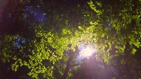 Όμορφο φως του ήλιου στο δάσος hornbeam στην άνοιξη απόθεμα βίντεο
