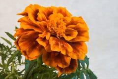 Όμορφο φωτεινό ζωηρόχρωμο marigold λουλούδι, οικογένεια αστέρων στοκ φωτογραφία με δικαίωμα ελεύθερης χρήσης