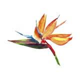 Όμορφο φωτεινό καλό ζωηρόχρωμο τροπικό watercolor σχεδίων θερινών τροπικό κίτρινο λουλουδιών της Χαβάης floral βοτανικό ελεύθερη απεικόνιση δικαιώματος
