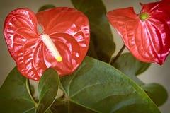Όμορφο φωτεινό κόκκινο λουλούδι Anthurium Στοκ εικόνες με δικαίωμα ελεύθερης χρήσης