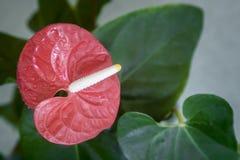 Όμορφο φωτεινό κόκκινο λουλούδι Anthurium Στοκ φωτογραφίες με δικαίωμα ελεύθερης χρήσης