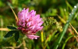 Όμορφο φωτεινό λουλούδι στη δροσιά στη χλόη Στοκ εικόνα με δικαίωμα ελεύθερης χρήσης