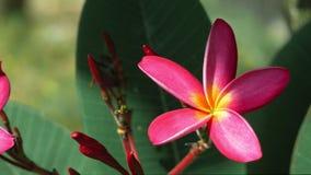 Όμορφο φωτεινό φωτισμένο ιώδες λουλούδι plumeria με κάποιο βαθύ - πράσινο φύλλωμα στο υπόβαθρο απόθεμα βίντεο