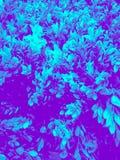 Όμορφο φύλλο δέντρων κινηματογραφήσεων σε πρώτο πλάνο ή μπλε διακοσμητικά φυτά χρώματος απεικόνισης άδειας στο δωμάτιο και τον κή στοκ φωτογραφίες