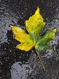 Όμορφο φύλλο δέντρων σφενδάμνου - εποχή πτώσης Στοκ φωτογραφίες με δικαίωμα ελεύθερης χρήσης