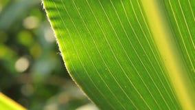 Όμορφο φύλλο καλαμποκιού απόθεμα βίντεο
