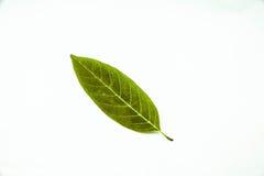 Όμορφο φύλλο jackfruit στο άσπρο υπόβαθρο Στοκ εικόνες με δικαίωμα ελεύθερης χρήσης