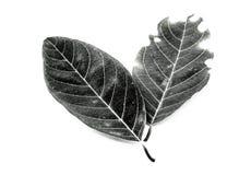 Όμορφο φύλλο jackfruit στο άσπρο υπόβαθρο Στοκ φωτογραφία με δικαίωμα ελεύθερης χρήσης