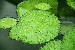 Όμορφο φύλλο Lotus Στοκ φωτογραφία με δικαίωμα ελεύθερης χρήσης
