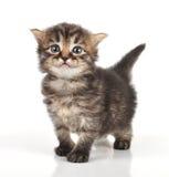 Όμορφο χαριτωμένο παλαιό γατάκι 20 ημερών Στοκ φωτογραφία με δικαίωμα ελεύθερης χρήσης