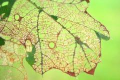 Όμορφο χαλασμένο ζωύφιο δρύινο φύλλο Artisitc Στοκ εικόνες με δικαίωμα ελεύθερης χρήσης