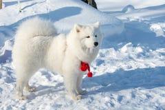 Όμορφο χνουδωτό άσπρο σκυλί Στοκ φωτογραφίες με δικαίωμα ελεύθερης χρήσης