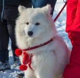 Όμορφο χνουδωτό άσπρο σκυλί Στοκ εικόνα με δικαίωμα ελεύθερης χρήσης