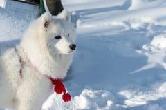 Όμορφο χνουδωτό άσπρο σκυλί Στοκ Φωτογραφία