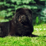 Όμορφο χνουδωτό μαύρο Chow σκυλιών που βρίσκεται το καλοκαίρι στο natur Στοκ Εικόνες