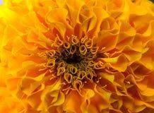 Όμορφο χρυσό κίτρινο λουλούδι Στοκ Εικόνες