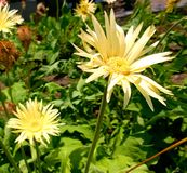Όμορφο χρυσό λουλούδι!! Στοκ Εικόνες