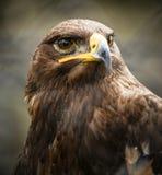 Όμορφο χρυσό πορτρέτο αετών Στοκ φωτογραφίες με δικαίωμα ελεύθερης χρήσης