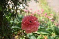 Όμορφο χρωματισμένο ροδάκινο λουλούδι Στοκ Εικόνα