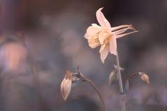 Όμορφο χρώμα κρέμας aquilegia λουλουδιών σε ένα ευγενές υπόβαθρο Εκλεκτική μαλακή εστίαση Στοκ φωτογραφία με δικαίωμα ελεύθερης χρήσης