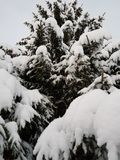 Όμορφο ψηλό κομψό δέντρο στο wintertime που καλύπτεται στο παχύ νέο χιόνι στον αρκτικό κύκλο Στοκ Εικόνα