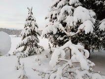 Όμορφο ψηλό κομψό δέντρο στο wintertime που καλύπτεται στο παχύ νέο χιόνι στον αρκτικό κύκλο Στοκ Φωτογραφίες