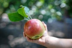 Όμορφο ώριμο κόκκινο μήλο με τα πράσινα φύλλα στα χέρια μικρών κοριτσιών στοκ εικόνα με δικαίωμα ελεύθερης χρήσης