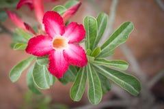 Όμορφο Adenium στο υπόβαθρο που θολώνεται στοκ φωτογραφία με δικαίωμα ελεύθερης χρήσης