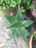 Όμορφο alovera φυσικό ύφος Ταϊλάνδη Στοκ εικόνα με δικαίωμα ελεύθερης χρήσης