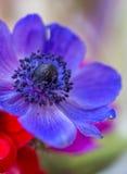 Όμορφο Anemone ανθίζει πολυ που χρωματίζεται Στοκ φωτογραφία με δικαίωμα ελεύθερης χρήσης