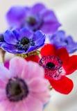 Όμορφο Anemone ανθίζει πολυ που χρωματίζεται Στοκ Φωτογραφίες