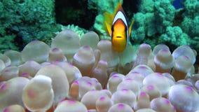 Όμορφο anemone σε μια τροπική Ερυθρά Θάλασσα κοραλλιογενών υφάλων απόθεμα βίντεο