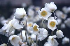 Όμορφο anemone στον κήπο Στοκ φωτογραφίες με δικαίωμα ελεύθερης χρήσης