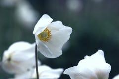 Όμορφο anemone στον κήπο Στοκ εικόνες με δικαίωμα ελεύθερης χρήσης