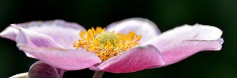 Όμορφο Anemone Στοκ φωτογραφία με δικαίωμα ελεύθερης χρήσης