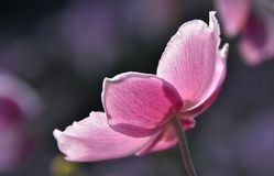 Όμορφο Anemone Στοκ εικόνες με δικαίωμα ελεύθερης χρήσης