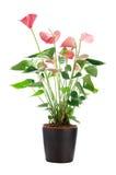 Όμορφο anthurium Anthedesia Στοκ Φωτογραφίες