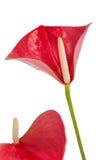 Όμορφο anthurium Anthedesia Στοκ Εικόνες